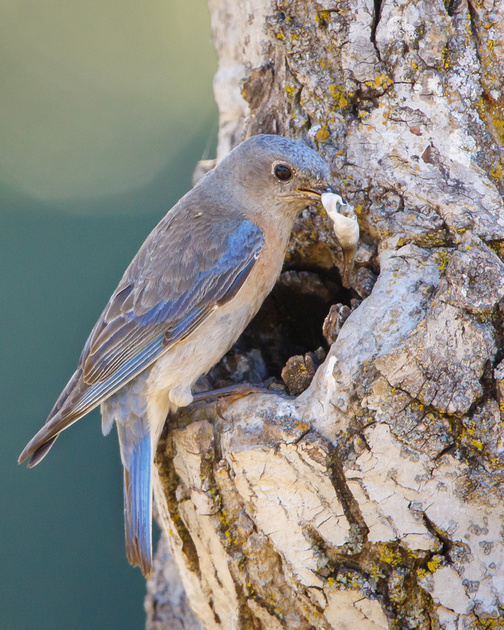 Western Bluebird, mother with fecal sac