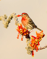 House Finch, feeding on Ocotillo flower